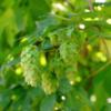 山梨県産ホップ「かいこがね」栽培の未来 ~サンクトガーレンのホップ収穫レポート~