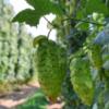 Far Yeast、今年収穫の国産ホップを使った樽熟成ビール発売!